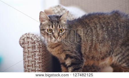 The domestic striped cat with yellow eyes.
