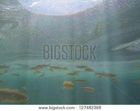 Fish swimming in Plitvice lake