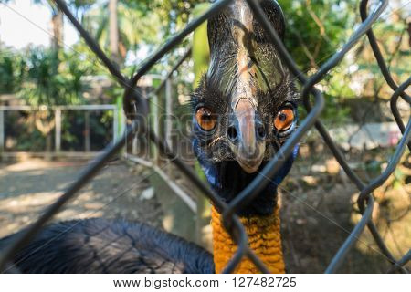 Ostrich in a cage looking at the camera