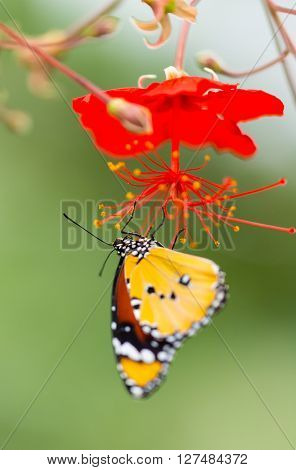Beautiful Plain Tiger butterfly (Danaus chrysippus) perching on flower. Close-up.