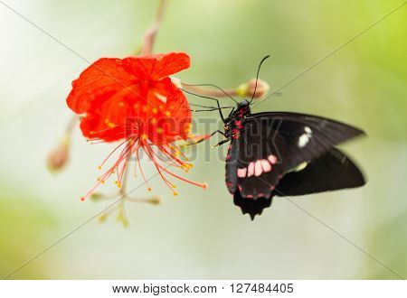 Parides sp. common mormon butterfly on red blossom, close-up.