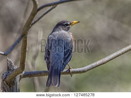 An American Robin perches in a branch to overlook a Wisconsin spring woodland it hopes to nest in.