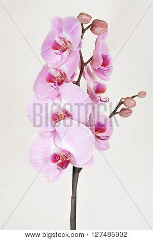 Pink streaked orchid flower (Phalaenopsis) on light background