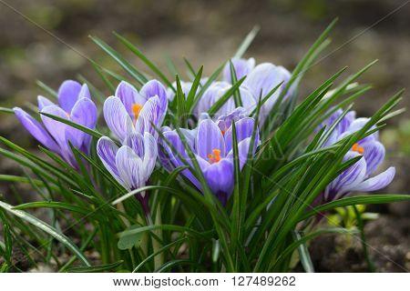Blue crocus flowers in spring close up