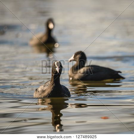 Eurasian Coot, Coot, Fulica atra  in water