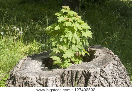 Sprouted sapling in cut oak tree log closeup