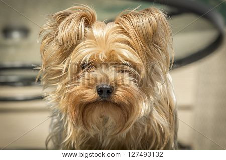 Portrait yorkshire terrier or yorkie needs a haircut or trim