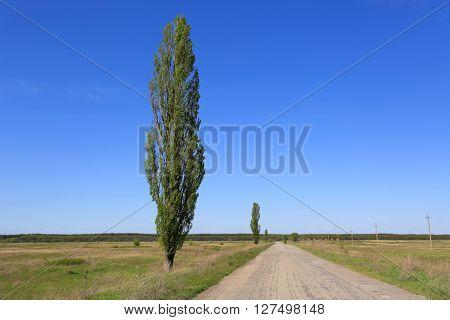 poplar tree near countryside road