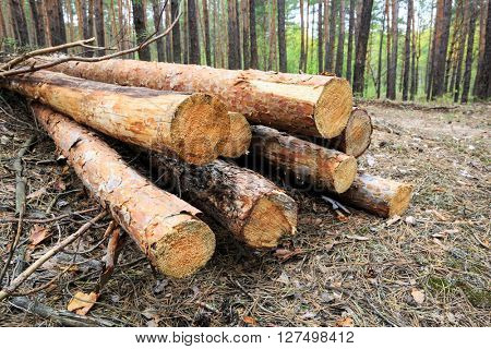pine logs store in forest