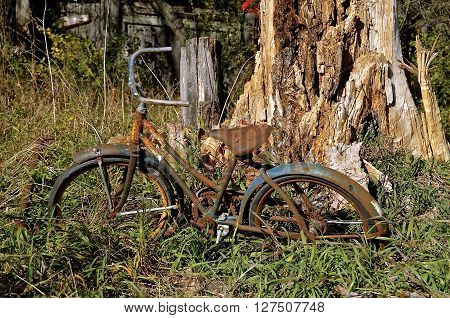 Both an old bicycle and a huge tree are in the stages of serious deterioration.
