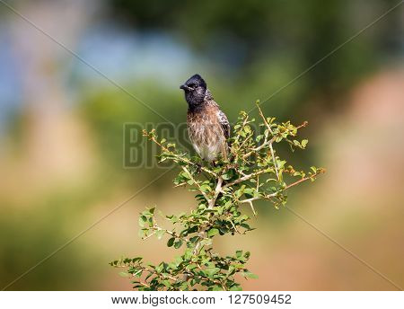 The red-vented bulbul is a member of the bulbul family of perching birds. It is resident breeder across the Indian subcontinent, including Sri Lanka extending east to Burma and parts of Tibet.