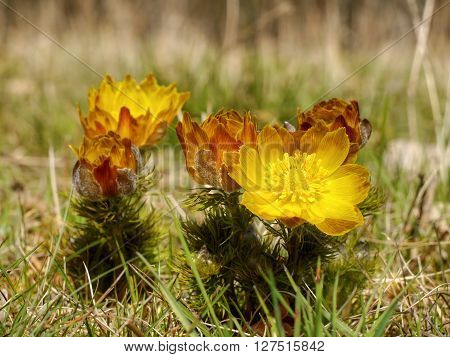 Adonis flower. Yellow spring flower in the grass.