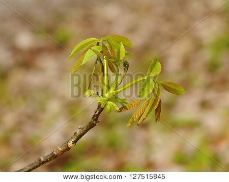 Walnut tree young spring leaves in the sun backlighting