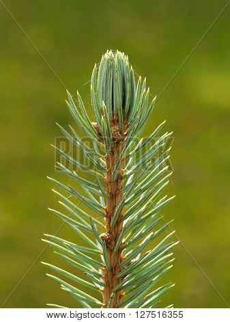 Spruce needles. Young sprout spruce tree. Spring time.