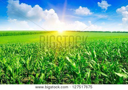 Beautiful sunrise on green cornfield