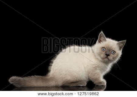 Scottish Straight Colorpoint Kitten Side view Isolated on Black Background