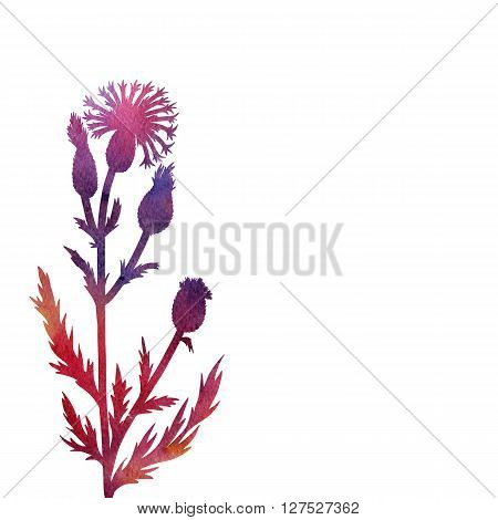 cornflower plant drawing in watercolor, floral composition with wild plant, drawing floral card, artistic painting background, hand drawn  illustration