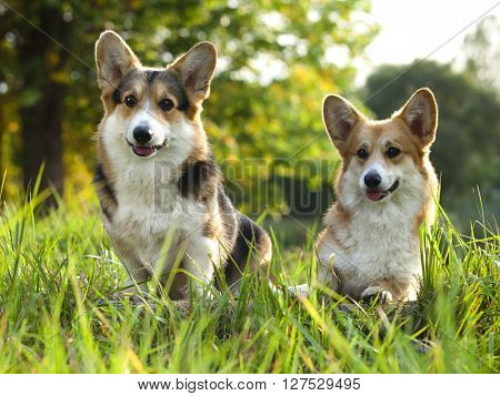 tvo dogs Welsh Corgi Pembroke on the grass in summer sunny day