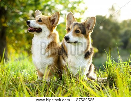 Welsh Corgi Pembroke on the grass in summer sunny day
