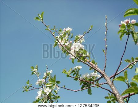 The branch of apple trees against the sky. Gentle apple blossom.