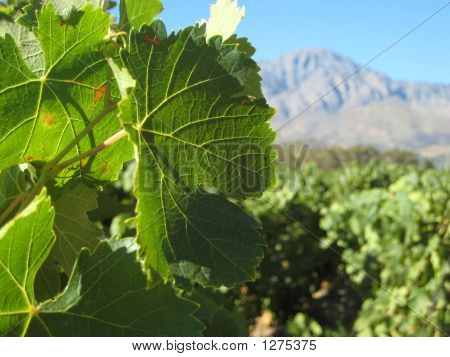 Tulbagh Vineyard