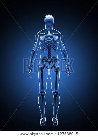 3D illustration of the human skeleton. Back view. Skeleton Template.