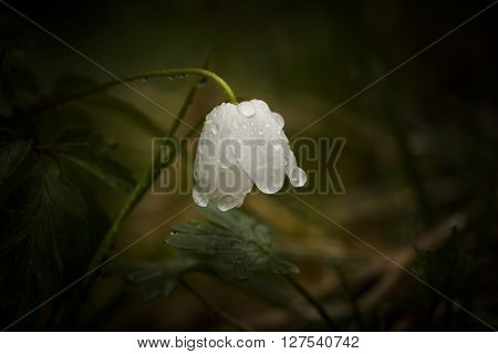 a wood anemone with drops of water