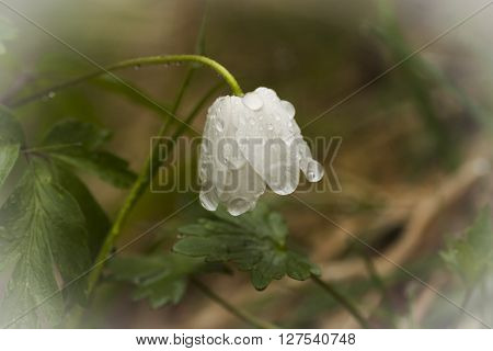 a wood anemone just after a rain