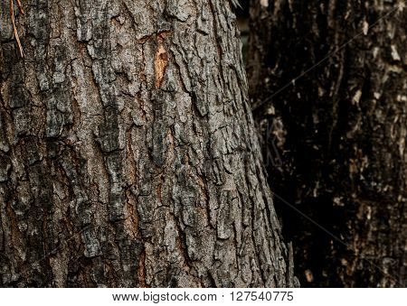 The difference in the bark. The tree of the same species but there are differences of bark.
