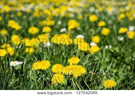 Yellow dandelions and ox-eye daisies in the meadow. Close up natural scene. Taraxacum and leucanthemum vulgare. Meadow flowers.