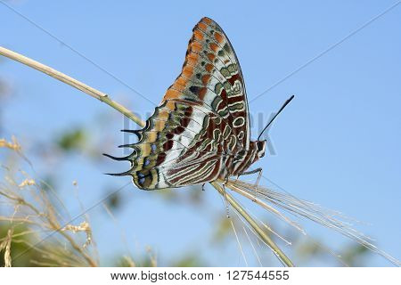 Two tailed pasha Charaxes jasius butterfly on blue