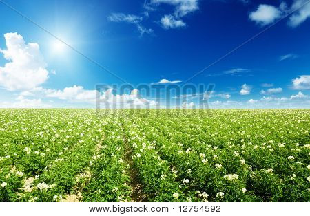 potatos field and sunny summer day