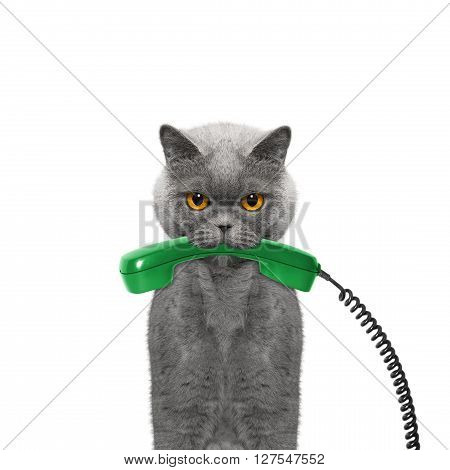 cat holds the phone in its mouth -- isolated on white