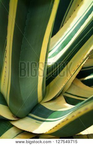 closeup photo of agave americana mediopicta alba