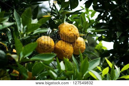 closeup photo of rather unhealthy looking yuzu fruit on a tree