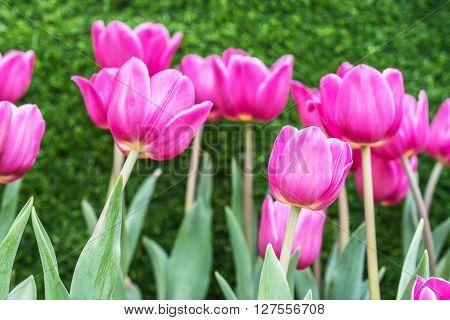 Tulip. Beautiful bouquet of tulips. Tulips in spring pink tulips in garden.