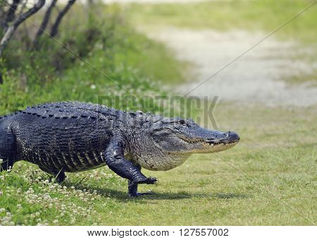Large Florida Alligator Walking on a Trail