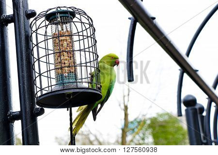 colorful parrot eating London England Wildlife bird