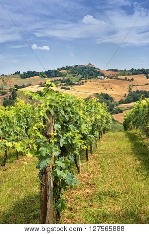 Country landscape in Marches (Italy) at summer with vineyard