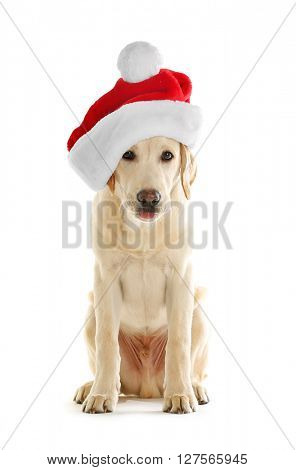 Cute Labrador dog with Santa hat isolated on white
