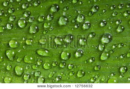Close up of the green Leaf covered dew