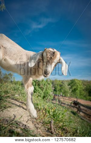 Baby goat grazing outdoor