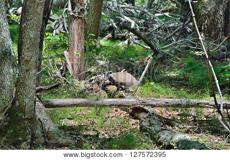 The badger in summer forest. Russian Far-East.