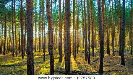 Sunset in the Scotch fir forest, autumn