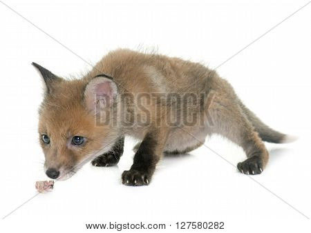 fox cub smelling meat in front of white background ** Note: Soft Focus at 100%, best at smaller sizes