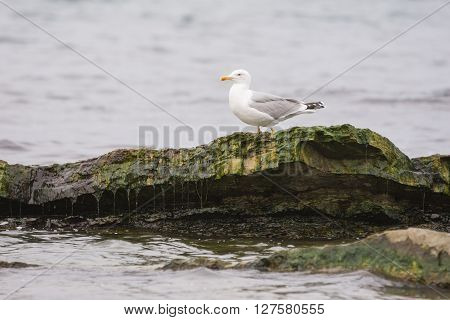 Seagull Sitting On A Rock Towering Above The Water Surface