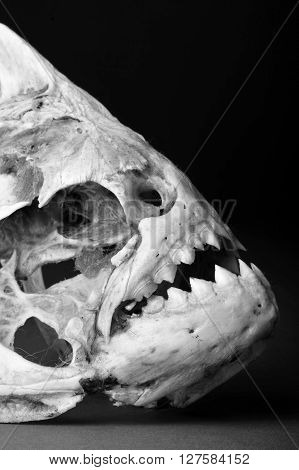 Real piranha skeleton in black and white..