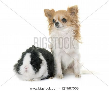 dwarf rabbit and chihuahua in front of white background