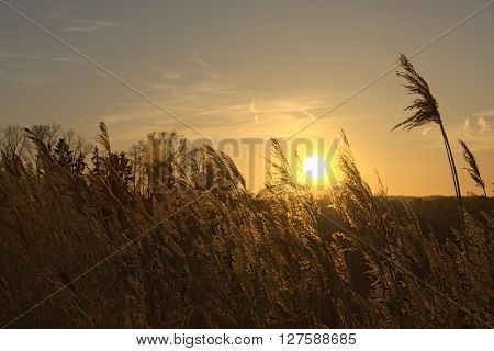 Reeds in front of blue sky at warm sunset