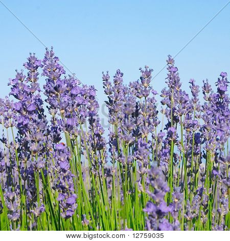 Lavender with blue